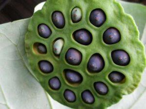 lotos_seeds